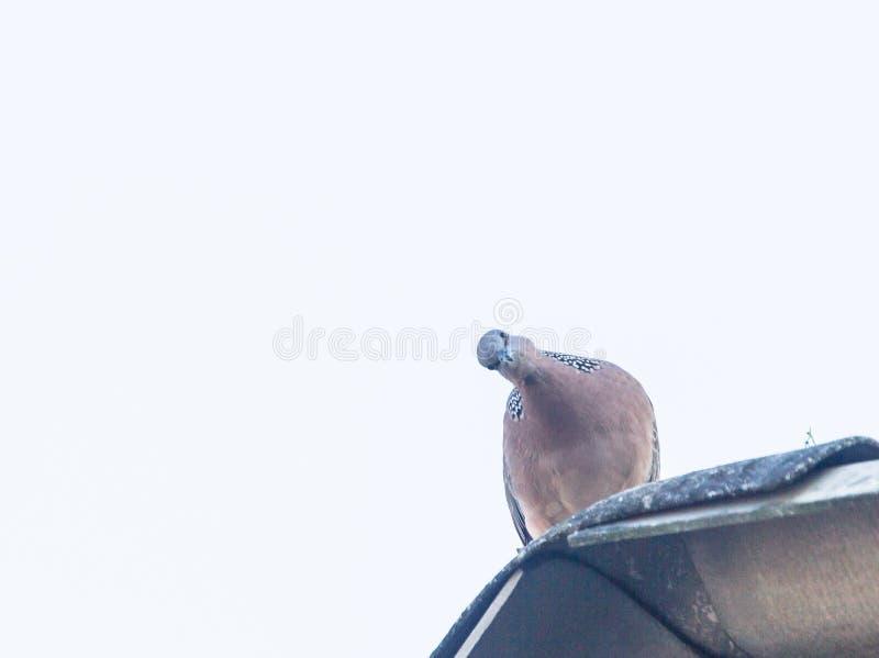 El presente de la paloma de la cebra se admite el país, y quién mejor para criar cada semestre hasta hacer los pájaros locales imagenes de archivo