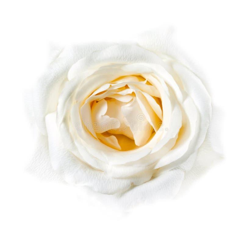 El primer blanco de Rose se descoloró en el fondo blanco imagen de archivo