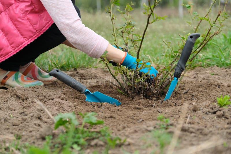 El primer de jardineros da en guantes protectores con los utensilios de jardinería que trabajan el suelo debajo del arbusto color imagen de archivo libre de regalías