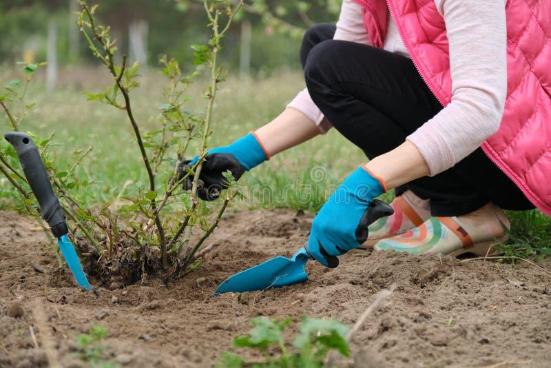 El primer de jardineros da en guantes protectores con los utensilios de jardiner?a que trabajan el suelo debajo del arbusto color imagen de archivo