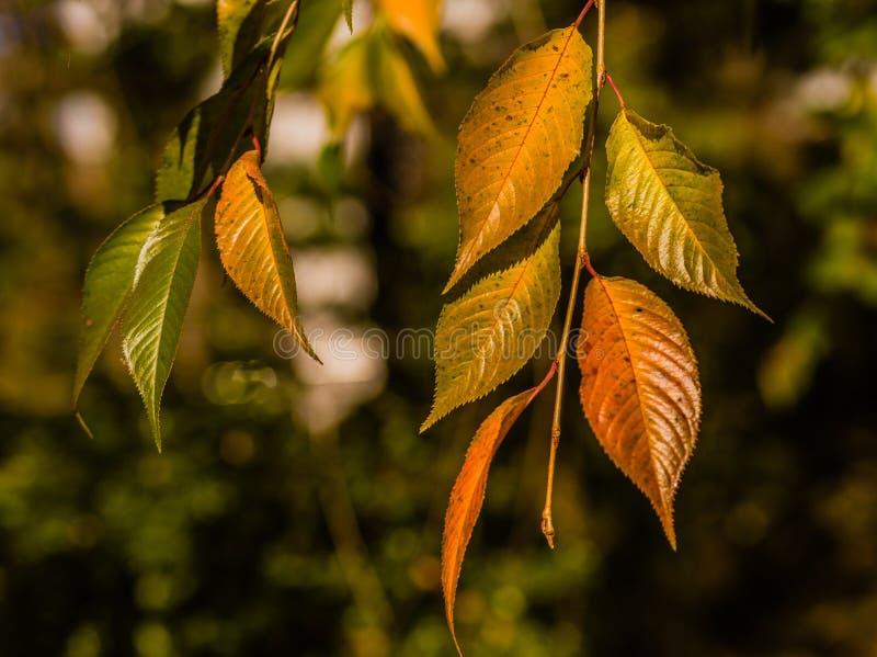 El primer de la caída coloreó las hojas fotografía de archivo libre de regalías