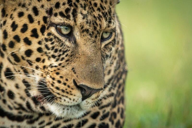 El primer de la cara masculina del leopardo pescó con caña abajo fotos de archivo libres de regalías