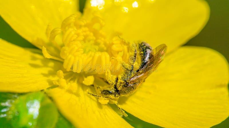 El primer de la especie de la abeja doused y envolvió absolutamente por el polen amarillo - flor amarilla en el estado P del desi fotografía de archivo
