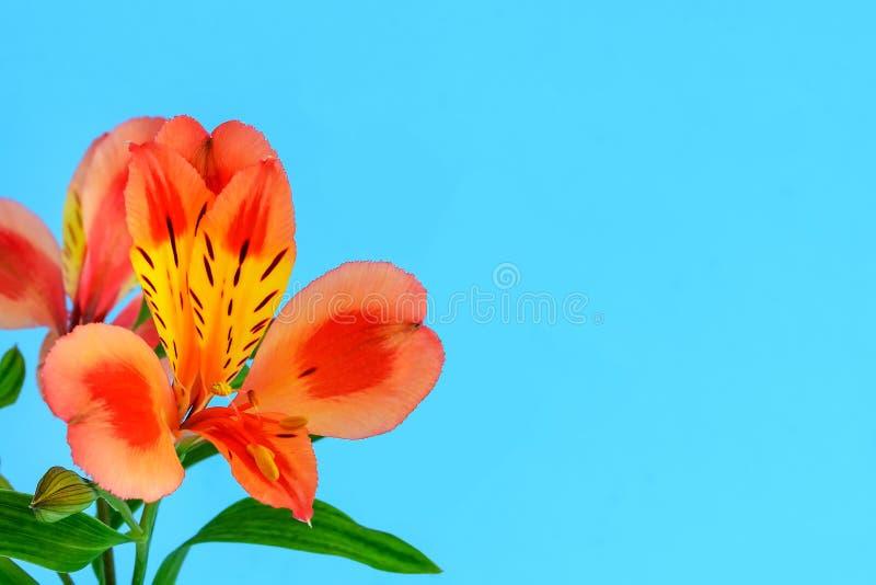 El primer de la flor anaranjada del alstroemeria, llamó comúnmente el lirio peruano o el lirio de los incas y del espacio de la c imagen de archivo