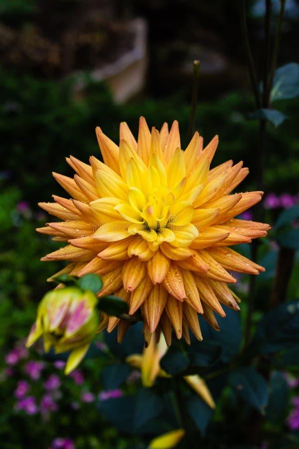 El primer de la flor colorida imágenes de archivo libres de regalías