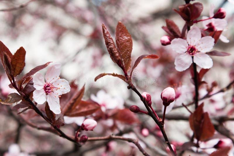 El primer de la flor rosada florece en cereza en primavera en vintage foto de archivo