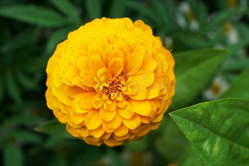 El primer de la floración florece Zinnia en el crecimiento de las hojas fotografía de archivo libre de regalías