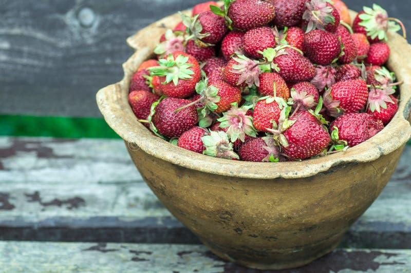 El primer de la vieja abuelita da sostener muchas fresas frescas Adulto femenino que muestra un puñado de fresas rojas de las bay foto de archivo libre de regalías