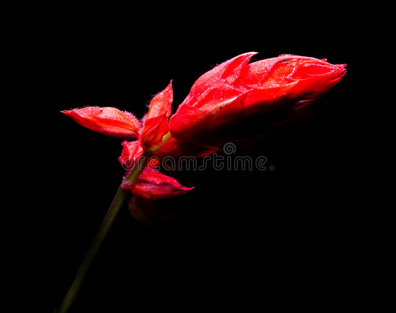 El primer de los splendens rojos del salvia florece en negro imágenes de archivo libres de regalías