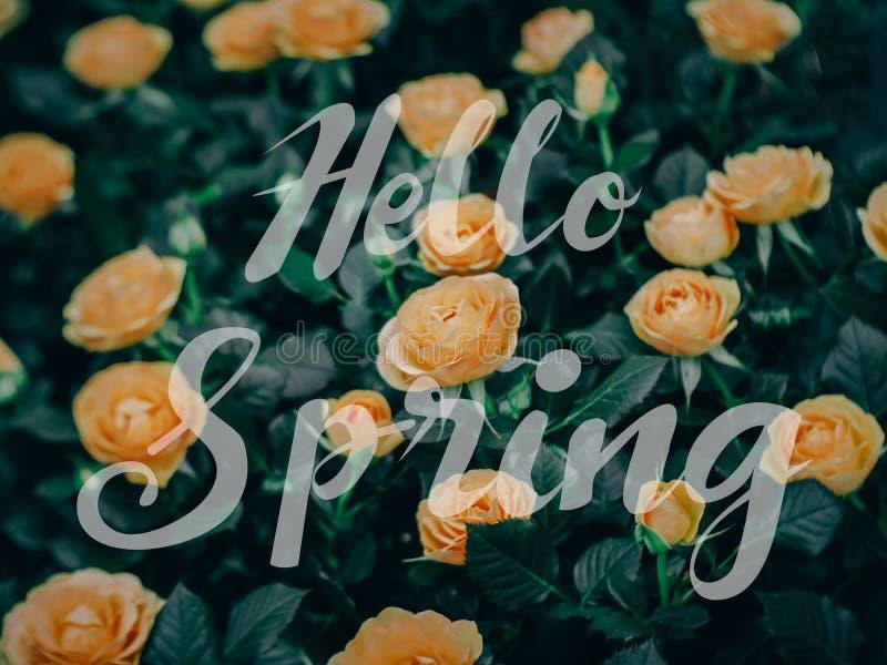 El primer de rosas florece la floración en el jardín fotografía de archivo