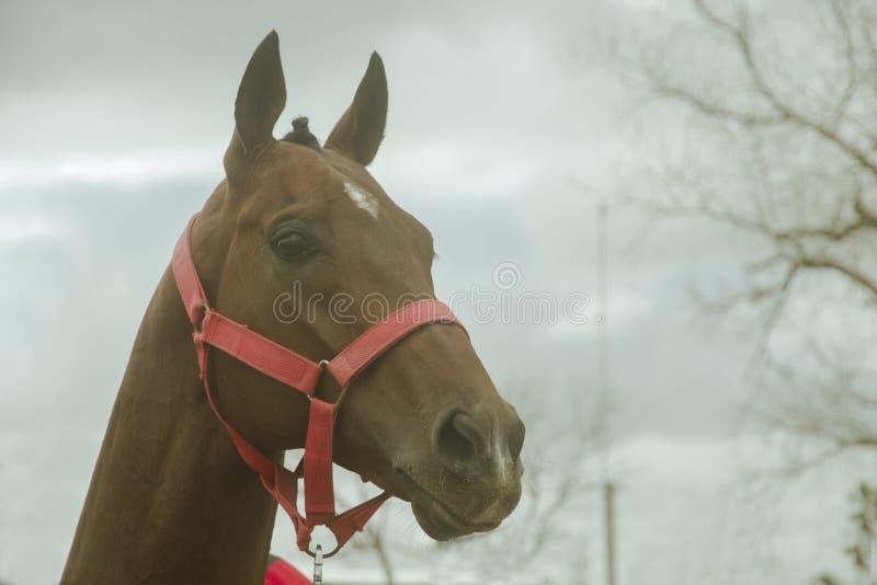El primer de un caballo grande con sus oídos paró imágenes de archivo libres de regalías