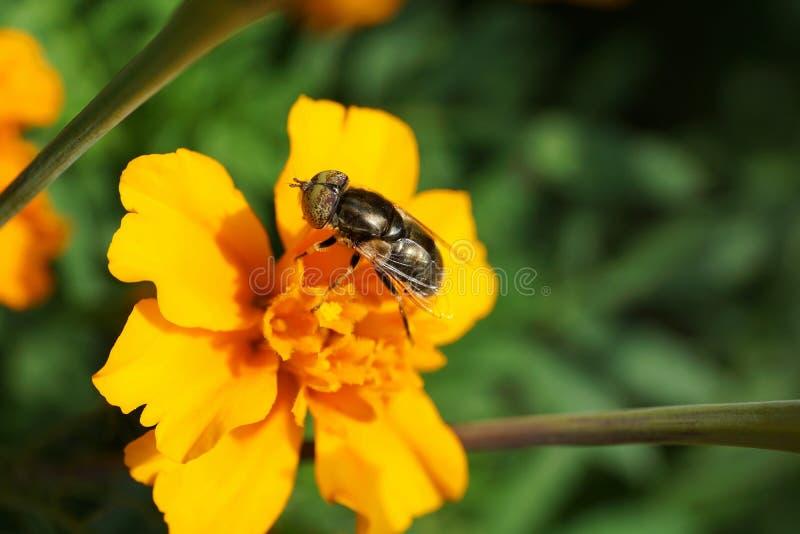 El primer de un caucásico brillante floral vuela hoverfly Eristalinus imagen de archivo