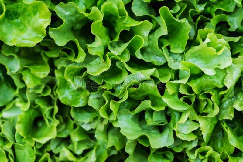El primer de un manojo de ensalada verde fresca, orgánica, lechuga hizo w foto de archivo libre de regalías