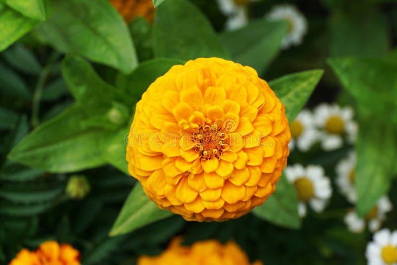 El primer de un Zinnia floreciente de la flor de los jóvenes florece en hojas imágenes de archivo libres de regalías