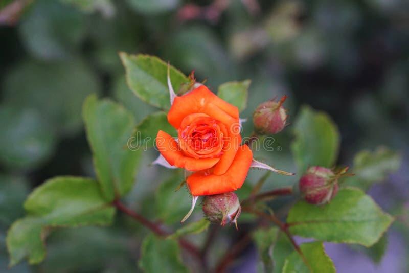 El primer de una flor anaranjada floreciente de un caucásico subió con imagen de archivo libre de regalías