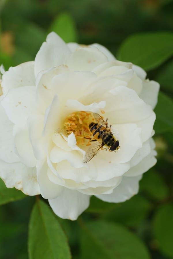 El primer de una flor blanca de la rosa y una mosca caucásica de la flor asoman foto de archivo
