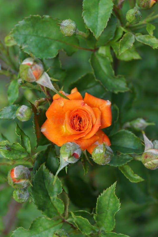 El primer de una naranja brillante caucásica subió con los brotes fotografía de archivo