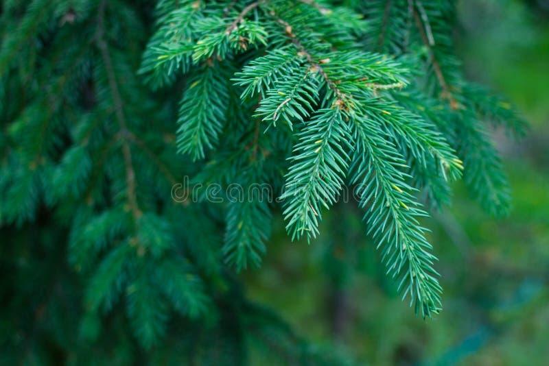 El primer del árbol o del pino azul de abeto ramifica imagen de archivo