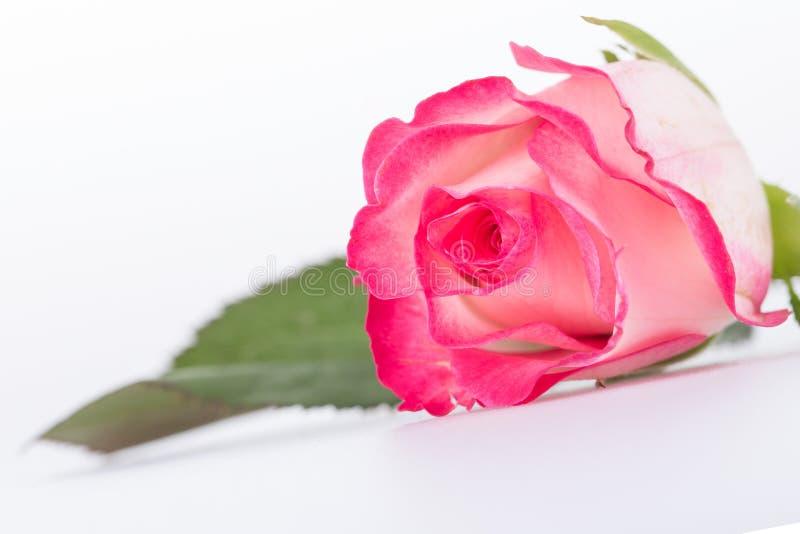 El primer del blanco y del rosa coloreó color de rosa fotografía de archivo