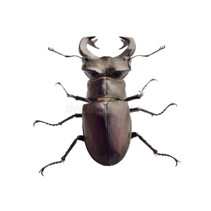 el primer del cervus de Lucanus del Macho-escarabajo aisló imagen de archivo