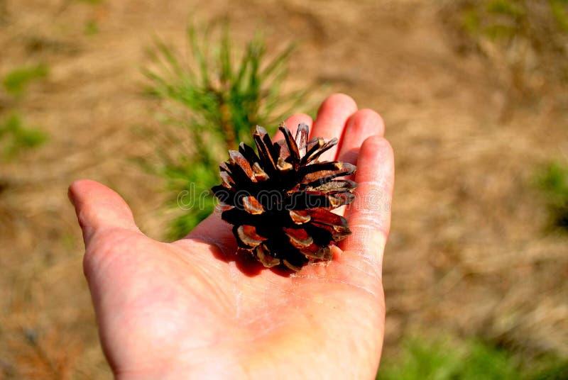 El primer del cono del pino miente en la palma masculina abierta en un fondo borroso foto de archivo libre de regalías