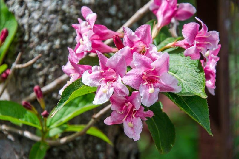 El primer del embudo de Rosea del Weigela formó la flor rosada, las pequeñas flores completamente abiertas y cerradas con las hoj imágenes de archivo libres de regalías