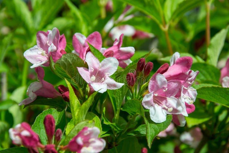 El primer del embudo de Rosea del Weigela formó la flor rosada, las pequeñas flores completamente abiertas y cerradas con las hoj foto de archivo libre de regalías