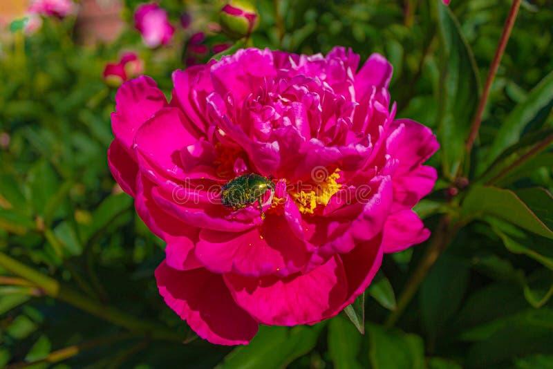 El primer del escarabajo se sienta en un brote de una rosa roja foto de archivo