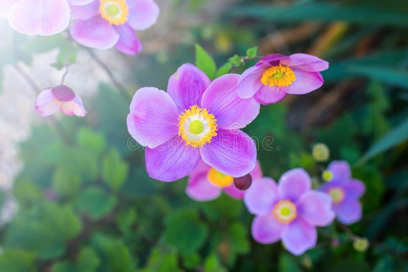El primer del japonés Anemone Windflower florece en rosa con los estambres amarillos en japonica del vel del hupehensis de la ané foto de archivo