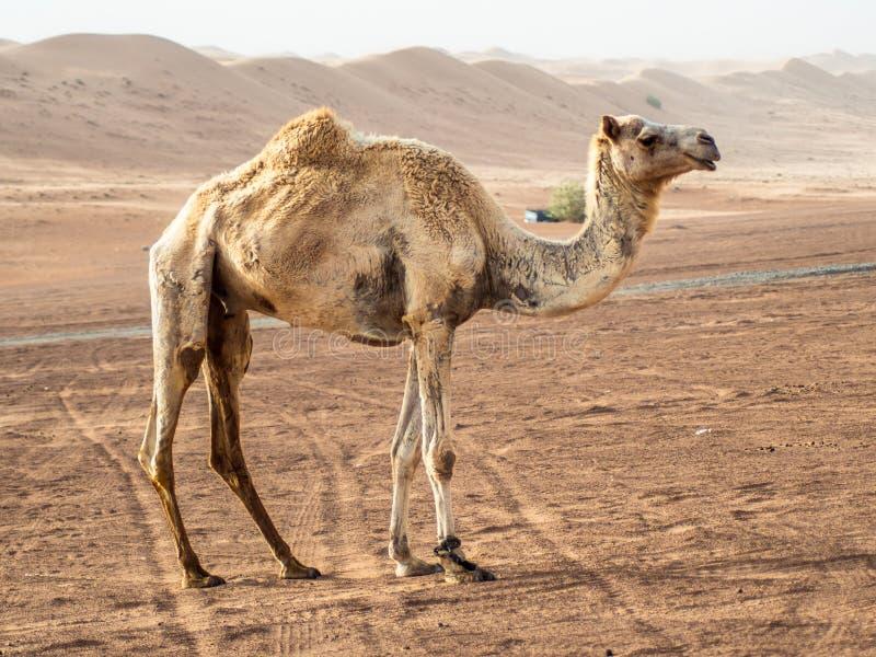 El primer del los camellos salvajes curiosos en el Wahiba enarena el desierto en O fotos de archivo