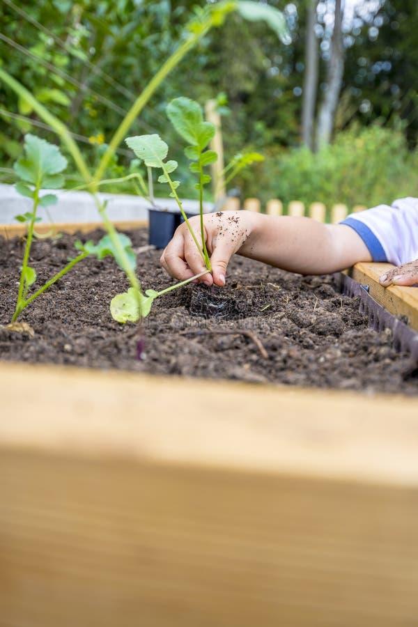 El primer del los childs da el establecimiento de un almácigo verde fresco del blac imagenes de archivo