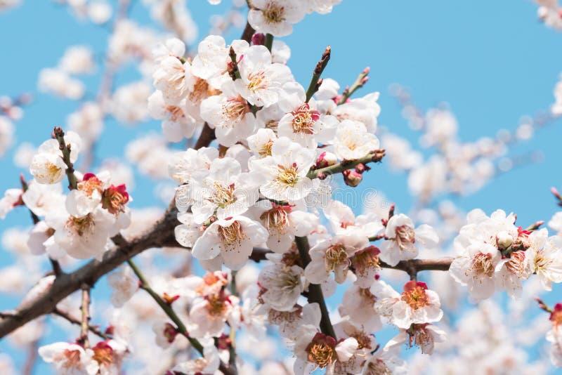 El primer del melocotón blanco colorido florece el día soleado fotos de archivo