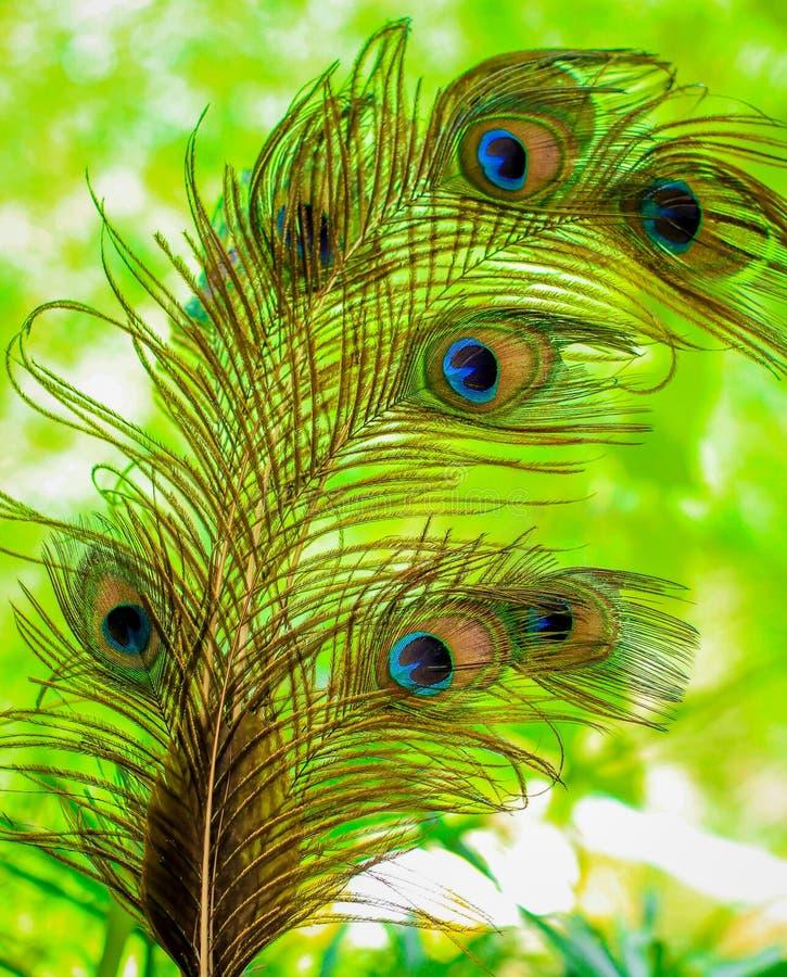 El primer del pavo real hermoso empluma en fondo verde fotografía de archivo libre de regalías