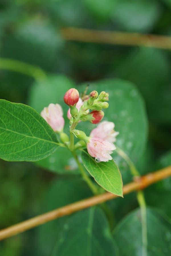 El primer del snowberry blanco y rosado florece albu del Symphoricarpos fotos de archivo