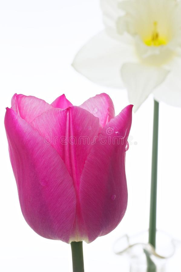 El primer del tulipán imagenes de archivo