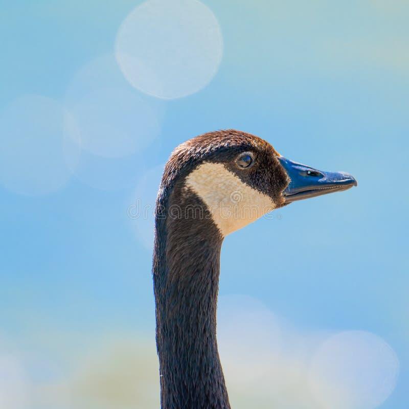 El primer detalló el retrato de un ganso de Canadá con aguas azules vivas con las chispas de la reflexión del sol - tomada en el  fotos de archivo libres de regalías
