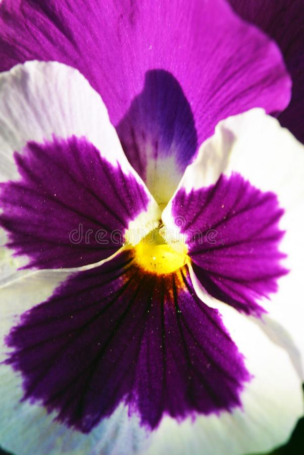 El primer extremo, fotografía macra tiró de la viola púrpura tricolora o de la flor del pensamiento fotos de archivo
