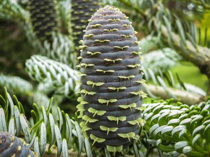 El primer hermoso de conos jovenes en las ramas del abeto Abies el koreana Silberlocke con las agujas verdes y plateadas de la pi fotos de archivo