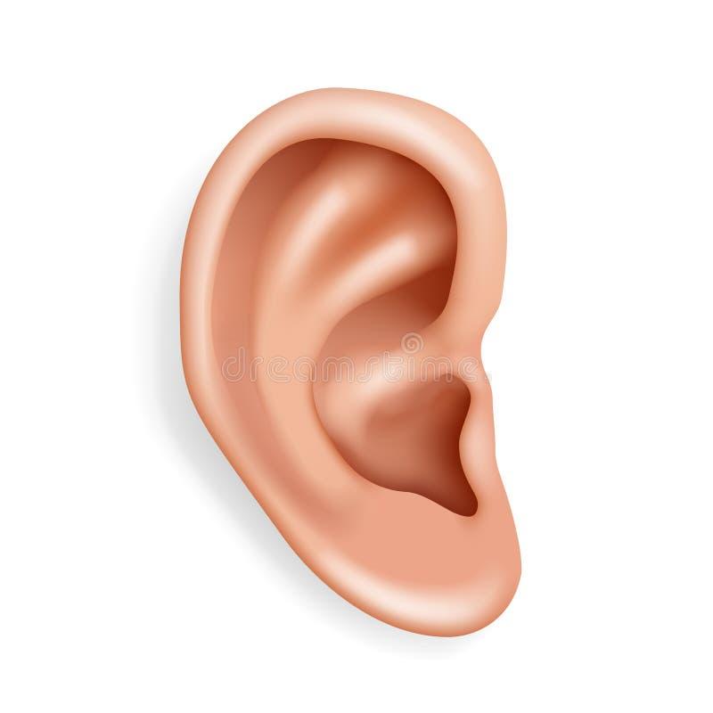 El primer humano 3d realista de la atención sanitaria de la audiencia del órgano del oído aisló el ejemplo del vector del diseño  ilustración del vector