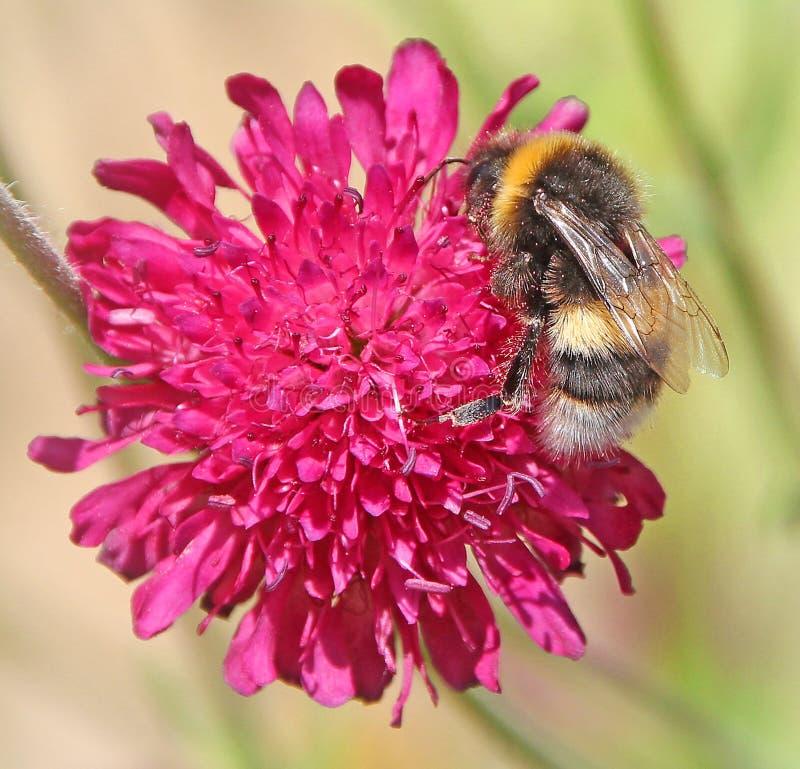 El primer macro manosea la abeja en las flores de la planta de la flor que subieron los estambres centran los pétalos rojo de la  imágenes de archivo libres de regalías