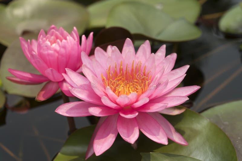 El primer pica el loto que florece, lotos con las hojas verdes en el lago, Tailandia fotos de archivo