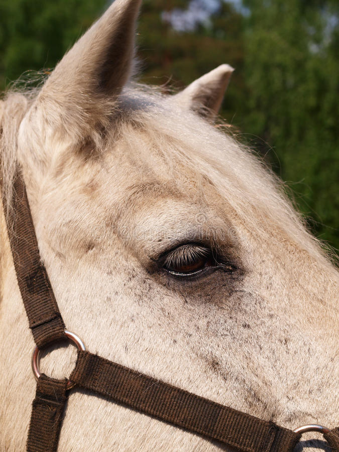 El primer principal del caballo imagen de archivo