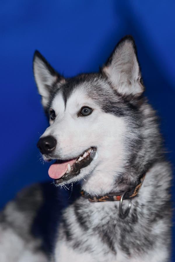 El primer que se sienta del perro fornido de la luz blanca observa contra la perspectiva de una noche polar del invierno en Spits fotografía de archivo