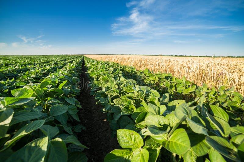 El primer tiró de campo de la soja verde al costado del trigo maduro foto de archivo