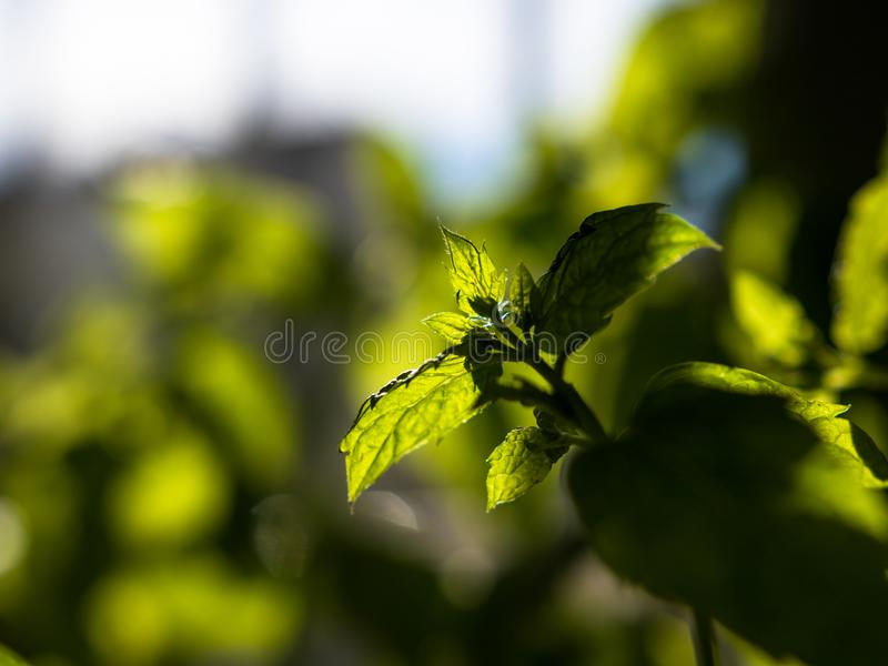 El primer tiró de la hierbabuena fresca, verde que crecía dentro con fuera del fondo del foco fotos de archivo libres de regalías