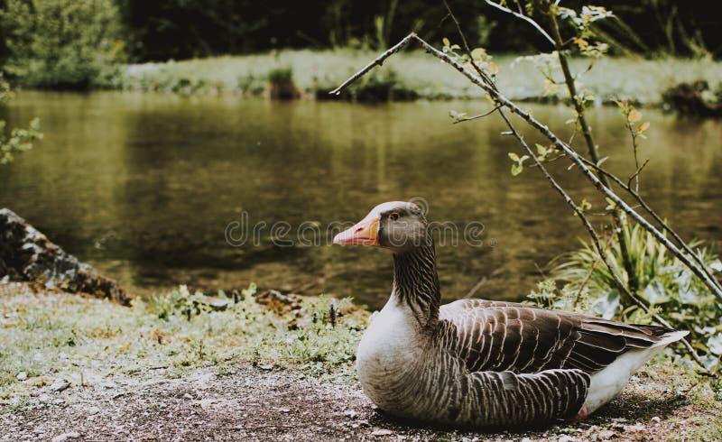 El primer tiró de un pato cerca de un río fotografía de archivo