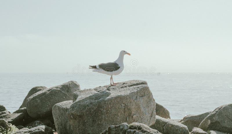El primer tiró de una situación de la gaviota en una roca cerca del mar fotos de archivo