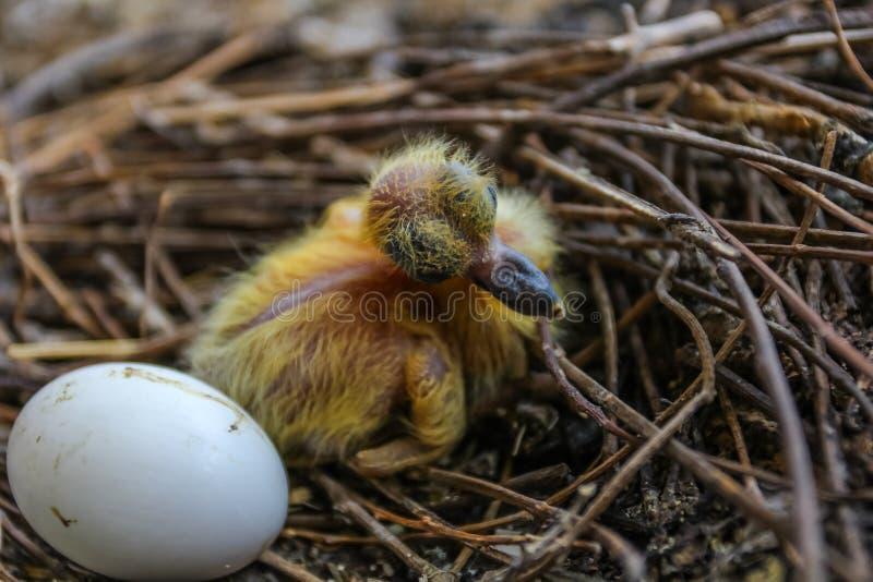 El primer tiró del pájaro recién nacido de la paloma con un huevo en la jerarquía fotos de archivo libres de regalías