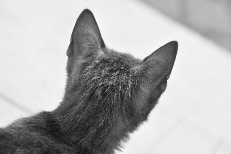 El primer tirado de la parte posterior de la cabeza de un gato, tiró en greyscale foto de archivo libre de regalías