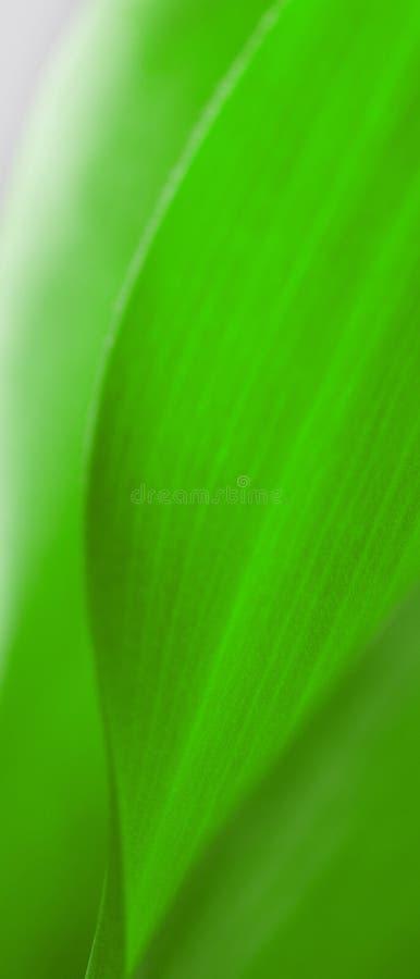 El primer verde de la hoja, primer tiró de las plantas hermosas de las curvas fotografía de archivo libre de regalías